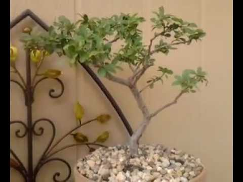 Arizona bonsai's