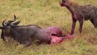 Hiena żywcem pożera antylopę Gnu. DRASTYCZNE! +18