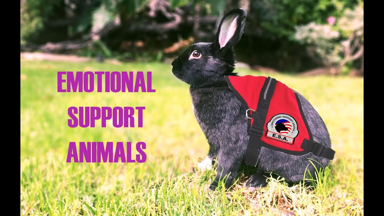 Therapy Rabbits As Emotional Support Animals Youtube Rabbits As Emotional Support Animals Youtube