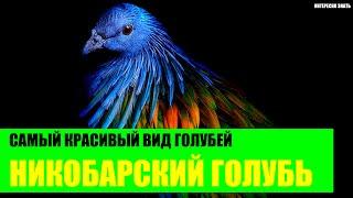 Никобарский голубь - самый красивый вид голубей