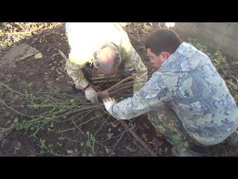 Укладываем инжировое дерево на зиму