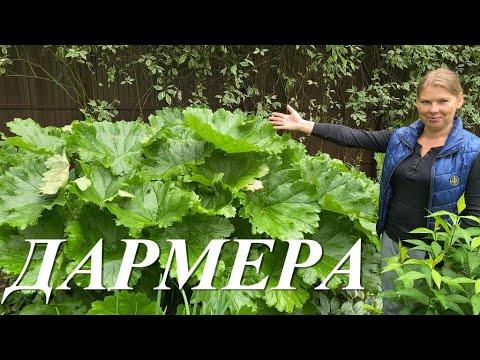 Дармера - самое большое растение в моем саду