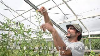 Stretch your tomato plants / Etirer vos plants de tomate
