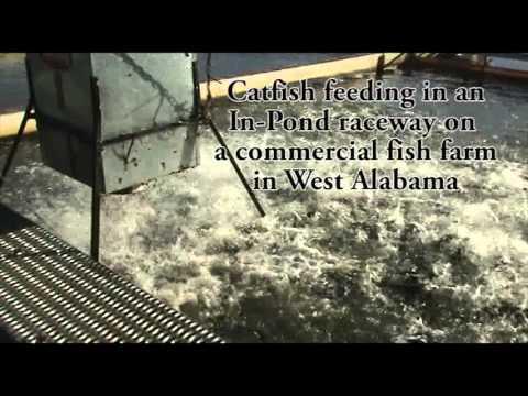 IPR Catfish Feeding In In Pond Raceway On Commercial Fish Farm In West Alabama