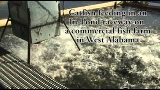 IPR Catfish Feeding in In Pond Raceway on Commercial Fish Farm in West Alabama