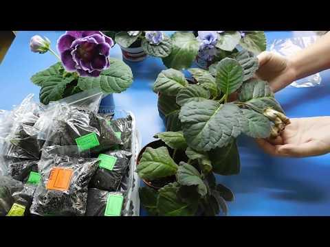 Вопрос: Как можно простимулировать глоксинию весной к цветению?