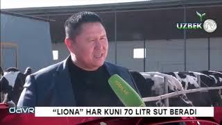 """""""ЛИОНА"""" ҲАР КУНИ 70 ЛИТР СУТ БЕРАДИ!"""
