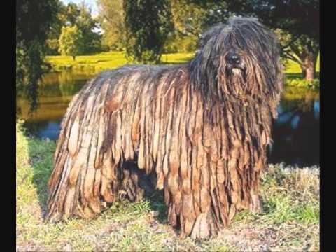Все породы собак.Бергамская овчарка(Bergamasco)