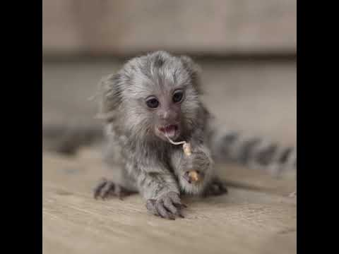 Baby Marmosets eating is too much!