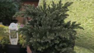 Flower Gardening Tips : How to Grow Juniper (Juniperus)