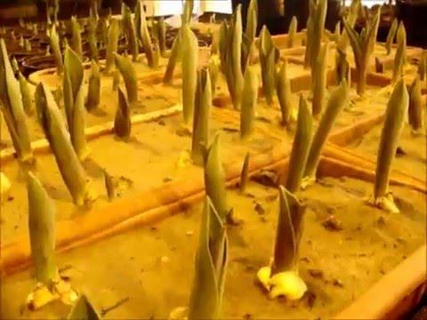 Луковичные Луковичные многолетники Продажа луковичных