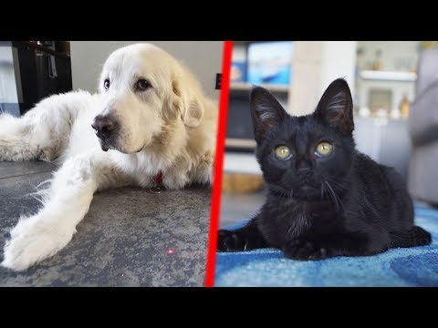 DOG vs KITTEN: LASER POINTER GAMES (SCS #186)