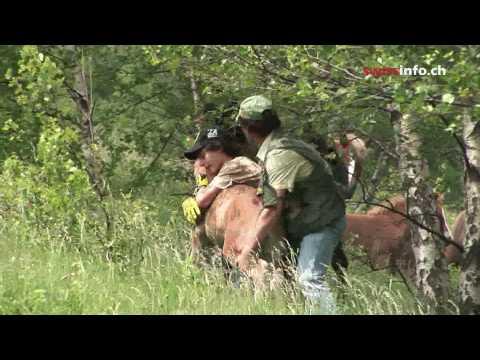Wild horses along the Swiss-Italian border