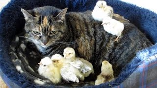Cat Infested With Little Chicks!