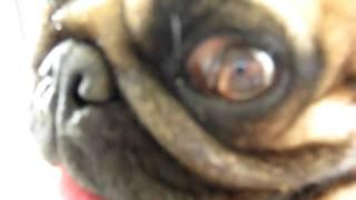 Pug Ugly