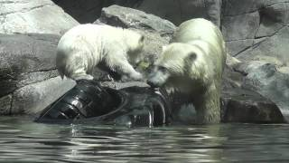 Polar bear cub Augo diving and eating fruit