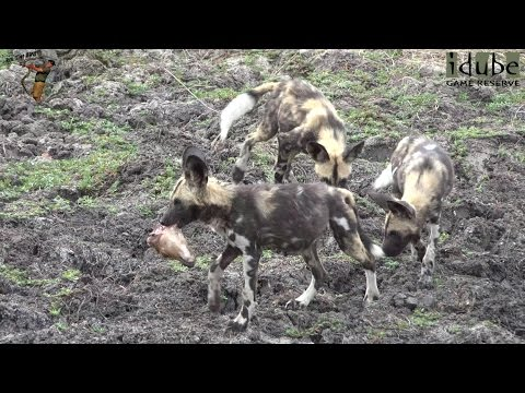Painted Dog Puppies Compete For Prize