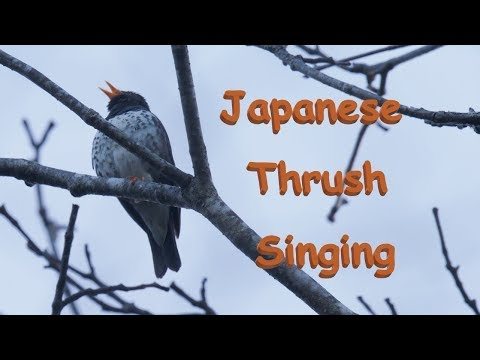 Japanese Thrush Song クロツグミ さえずり 信越の高原 5月上旬 野鳥4K 空屋根FILMS#1013