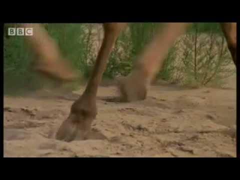 Polar bears and woolly mammoths - Wild New World - BBC Planet