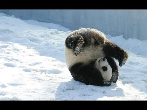 """Panda """"Youyou"""" in his winter wonderland: the life of giant pandas' in China's northernmost region"""