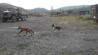 лиса играет с собакой