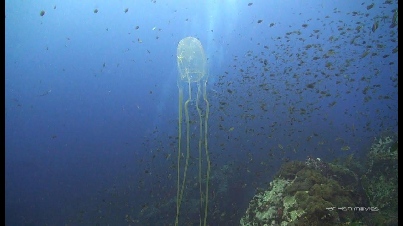 8 Box Jellyfish at Chumphon Pinnacle - YouTube - photo#31