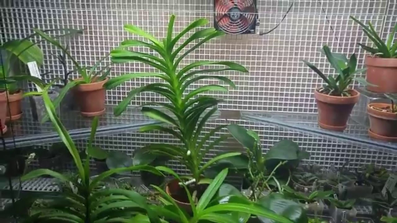Pleurothallis Truncata Orchid moreover My Flowering Phalaenopsis Orchids Today as well Decoracion De Exteriores Con Maceteros Colgantes also Watch furthermore How To Grow 168 Plants In A 6 X 10 Space With A Diy A Frame Hydroponic System. on growing orchids beginners