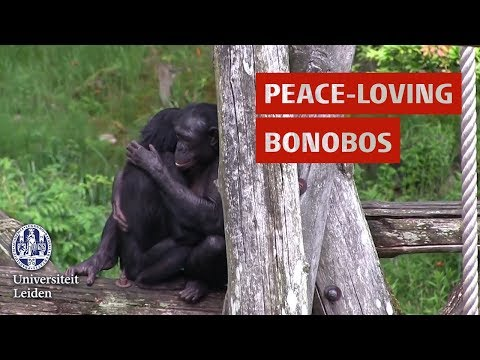 Mariska Kret researches peace-loving bonobos