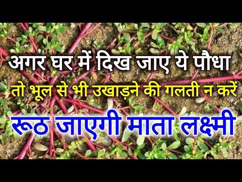अगर घर के आंगन में उग आए ये पौधा तो भूल से भी उसे उखाड़ने की गलती न करें, रुठ जाएगी माता लक्ष्मी