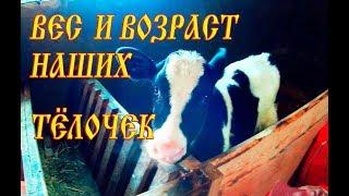 ТЁЛОЧКИ АЙРШИРСКОЙ И ГОЛШТИНСКОЙ ПОРОДЫ//ВЕС-ВОЗРАСТ