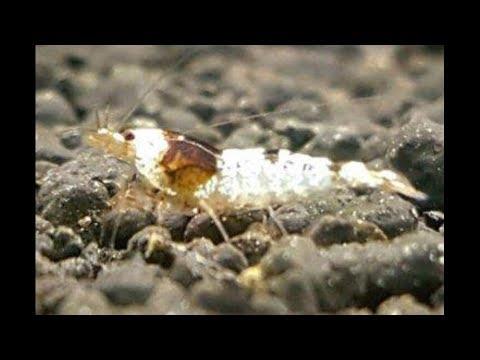 Hablemos de las HIBRIDAS DE TAIWAN en Natural-Shrimps