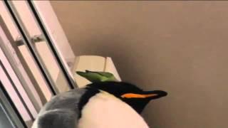 ピリちゃん(コザクラインコ)巨大皇帝ペンギンのぬいぐるみを登頂。支...