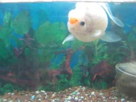 Mi pez enfermo doovi for Pez escalar enfermedades