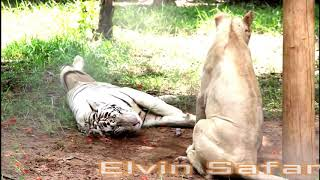 White Tigers Living with Lions