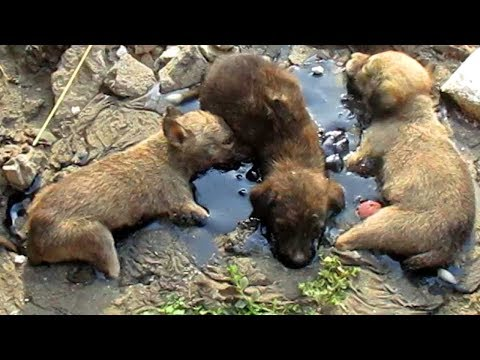 stuck-for-hours-in-rock-solid-tar,-puppies-rescued.-watch-til-the-end.