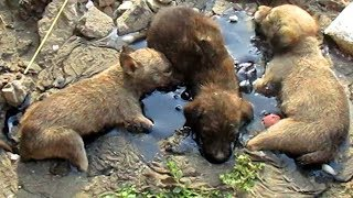 Stuck for hours in rock-solid tar, puppies rescued. Watch til the end. thumbnail