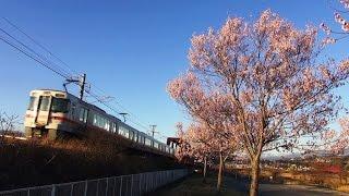 満開の桜と飯田線