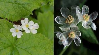 "Beautiful ""Skeleton Flower"" Turns Transparent When It Rains-  Diphylleia grayi"