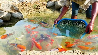 Oh! A lot of So Beautiful fish Clare Water, Find and Catch Red fish, Oranda Red Cap, Japan KOI Fish
