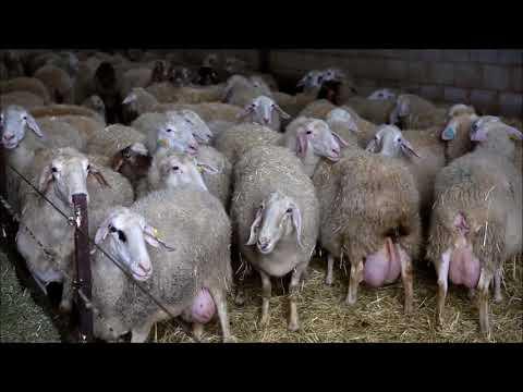 ASSAF Sheep