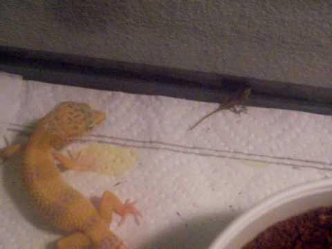 leopard gecko vs anole pt 1