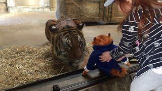 少女の「ぬいぐるみ」を見た虎が…興奮を抑えられない!(動画)
