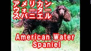 American Water Spaniel アメリカン・ウォーター・スパニエル アメリカ...