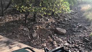 Ranthambore Safari Tiger Spotting