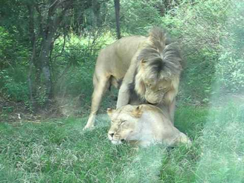 Lion girl having sex
