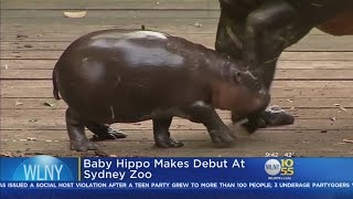 Baby Hippo Makes Debut At Sydney Zoo