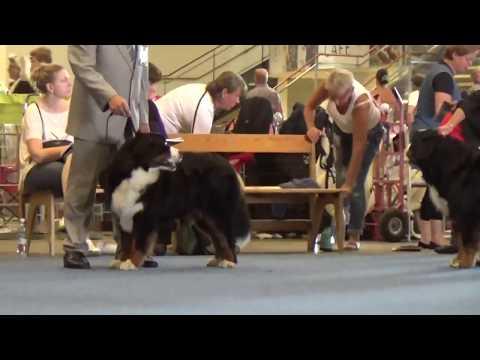Helsinki World Dog Show 2014 - Bernese Mountain Dog female champion class  MAH01232