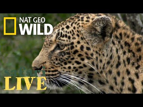 James Tracks a Leopard – Day 87 | Safari Live