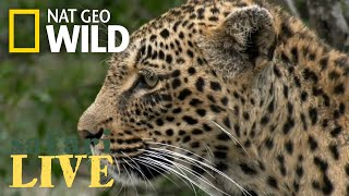 James Tracks a Leopard – Day 87 | Safari Live thumbnail