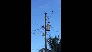 電信柱で一息入れていた鳥が感電か突然落下。その後無事に何とか起き上がる